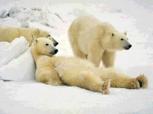 Polar bears watch telly. Source unknown